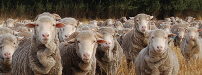 mfc-livestock-1
